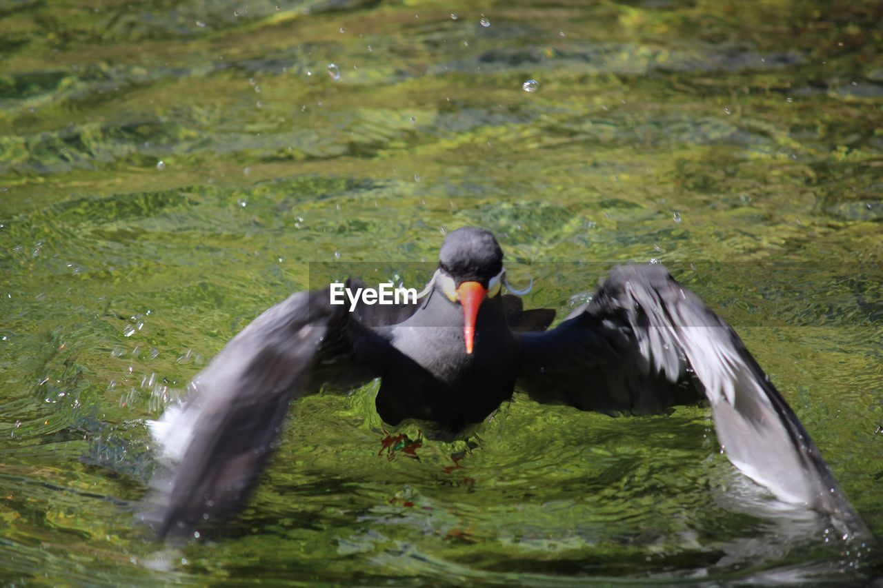 animal wildlife, animal themes, animal, one animal, animals in the wild, water, bird, vertebrate, lake, black color, day, nature, waterfront, swimming, motion, flying, swan, black swan, spread wings, no people, outdoors, beak, flapping