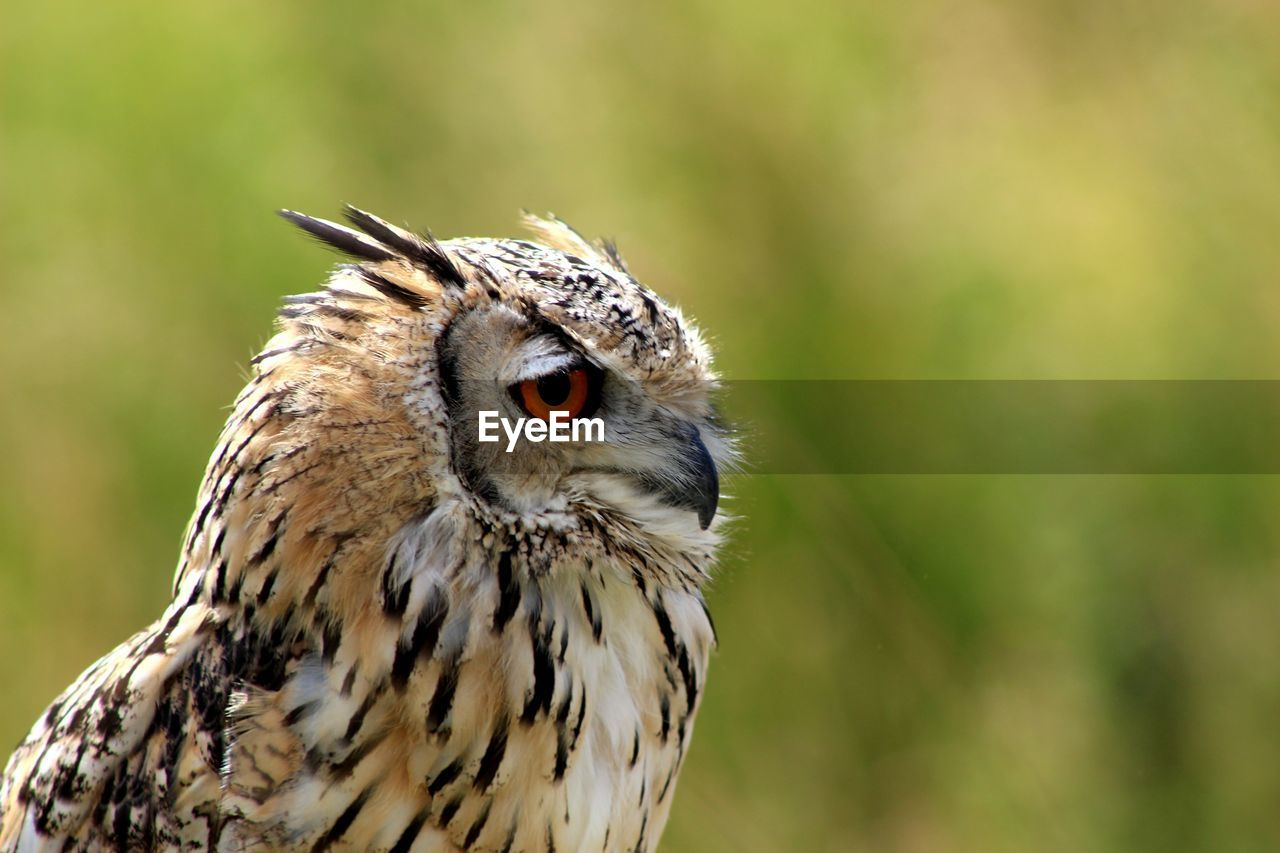 Close-Up Of Eagle Owl Looking Away