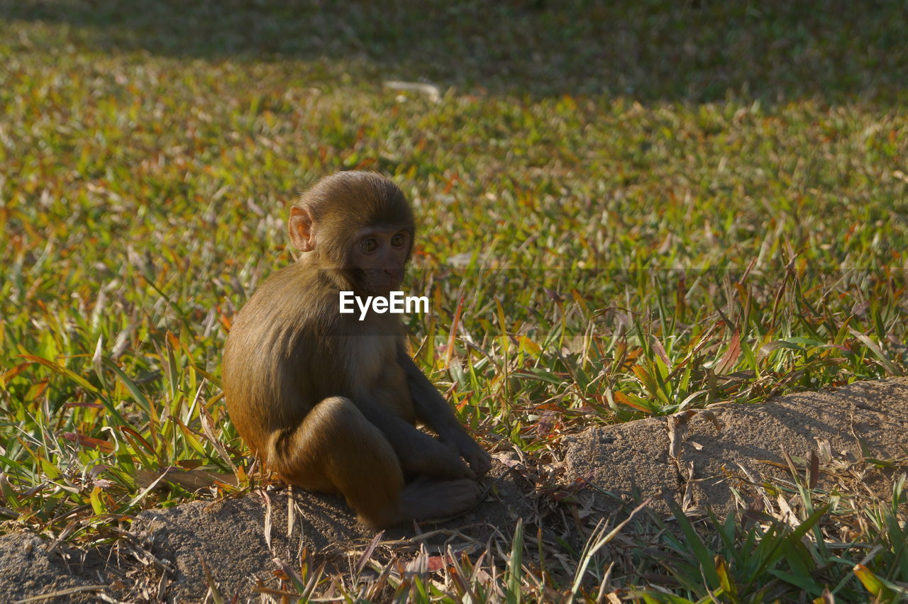 monkey, animal themes, animals in the wild, one animal, animal wildlife, sitting, field, day, mammal, outdoors, full length, grass, no people, nature