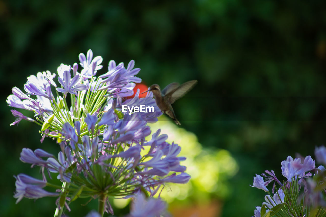 flower, flowering plant, vulnerability, fragility, freshness, beauty in nature, growth, plant, petal, flower head, purple, inflorescence, close-up, one animal, nature, animal themes, animal, focus on foreground, day, no people, pollen, pollination, butterfly - insect