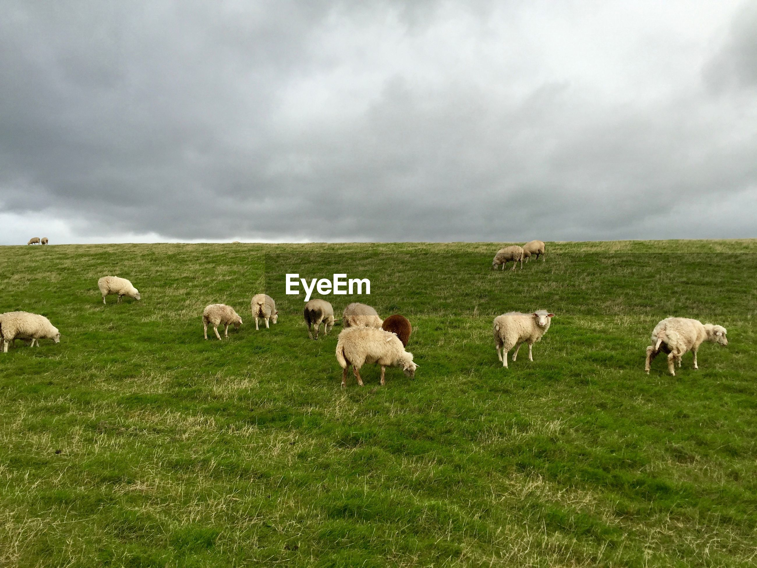 SHEEP GRAZING ON FIELD