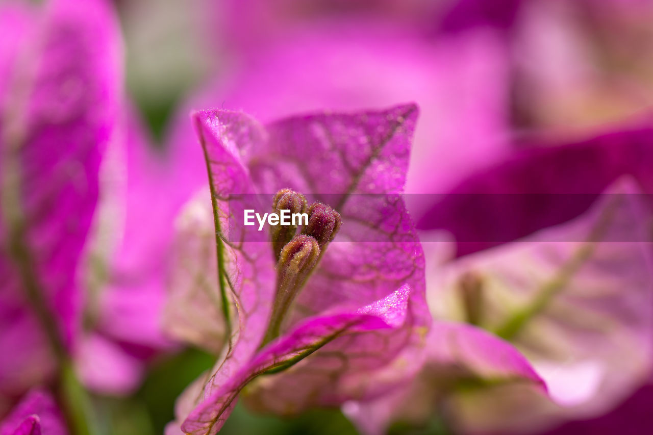 flower, flowering plant, plant, beauty in nature, fragility, vulnerability, freshness, petal, close-up, growth, inflorescence, selective focus, flower head, nature, no people, pink color, purple, day, botany, pollen, outdoors, crocus