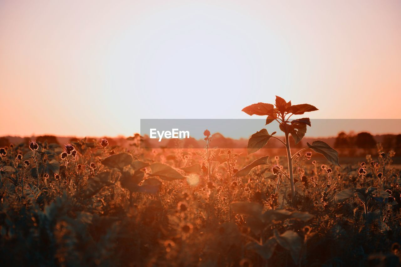 sky, plant, growth, beauty in nature, nature, sunset, field, land, orange color, clear sky, petal, landscape, selective focus, no people, flowering plant, tranquility, sunlight, flower, fragility, vulnerability, flower head, outdoors
