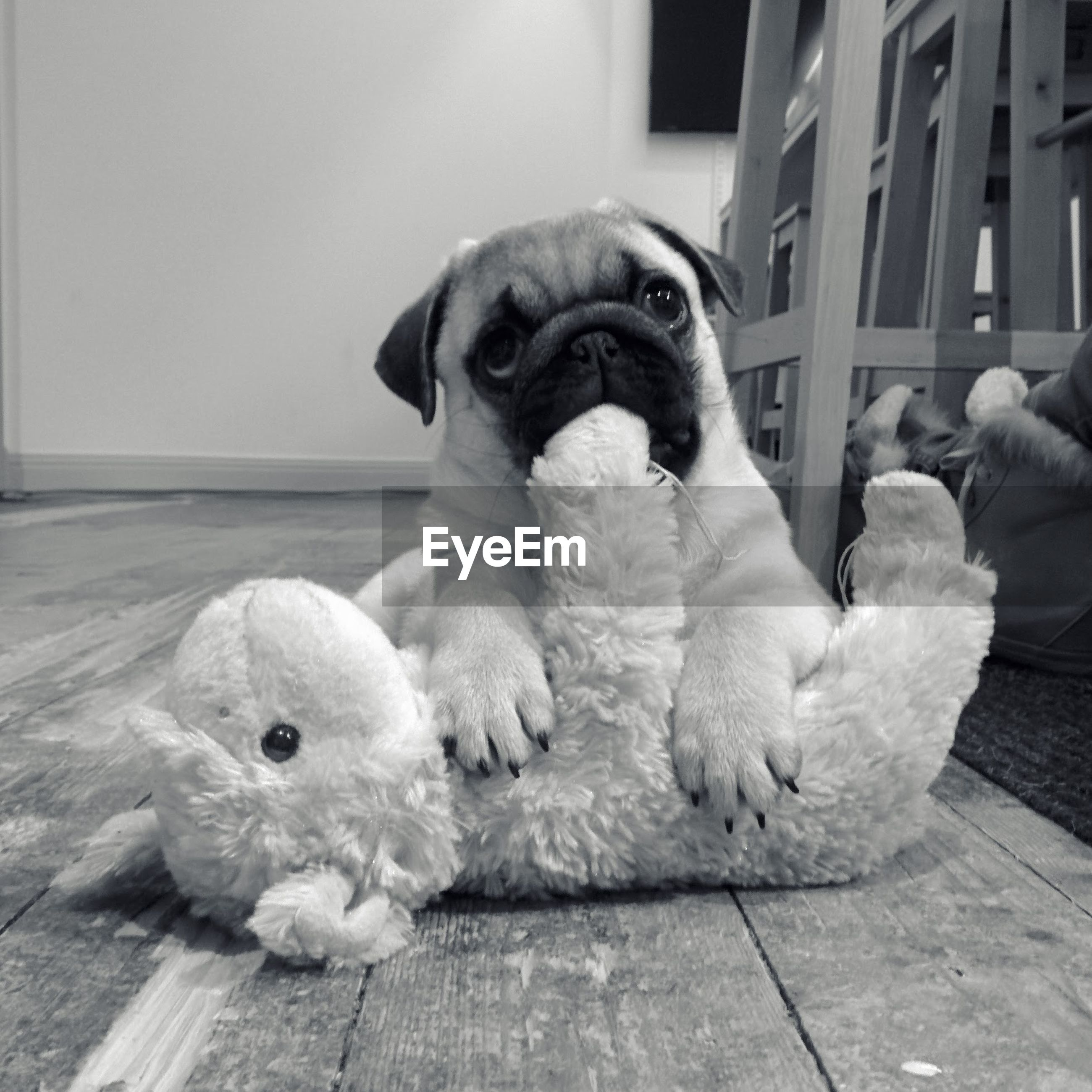 Pug with stuffed toy at home
