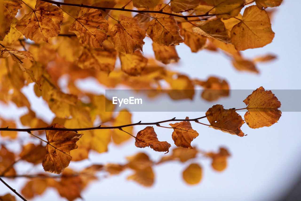 autumn, plant part, change, leaf, close-up, no people, tree, brown, nature, leaves, orange color, beauty in nature, day, selective focus, plant, dry, tranquility, branch, focus on foreground, vulnerability, autumn collection, natural condition, fall