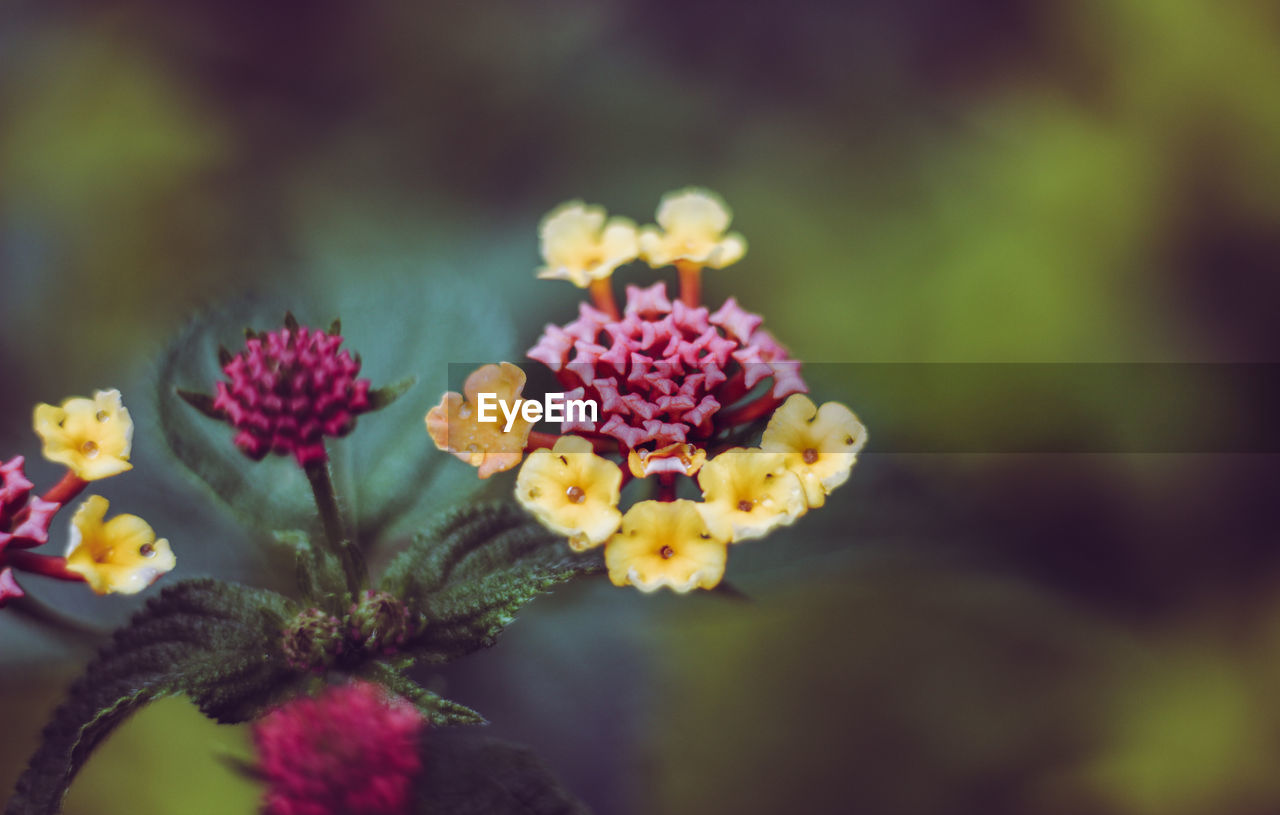 flower, flowering plant, plant, fragility, vulnerability, freshness, growth, beauty in nature, petal, inflorescence, flower head, selective focus, nature, day, close-up, lantana, pink color, no people, outdoors, focus on foreground