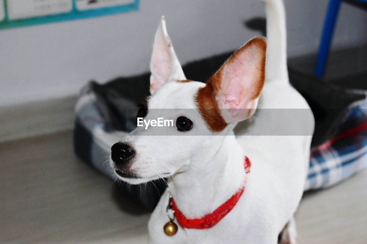domestic animals, mammal, pets, domestic, one animal, canine, dog, vertebrate, focus on foreground, collar, close-up, pet collar, no people, portrait, looking away, looking, jack russell terrier, whisker