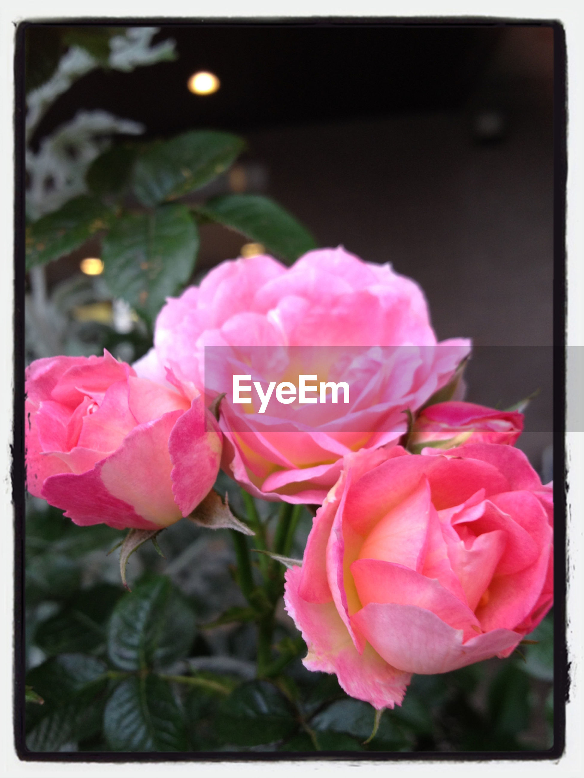 flower, petal, freshness, fragility, flower head, pink color, transfer print, beauty in nature, close-up, growth, focus on foreground, rose - flower, auto post production filter, blooming, nature, pink, in bloom, plant, blossom, leaf