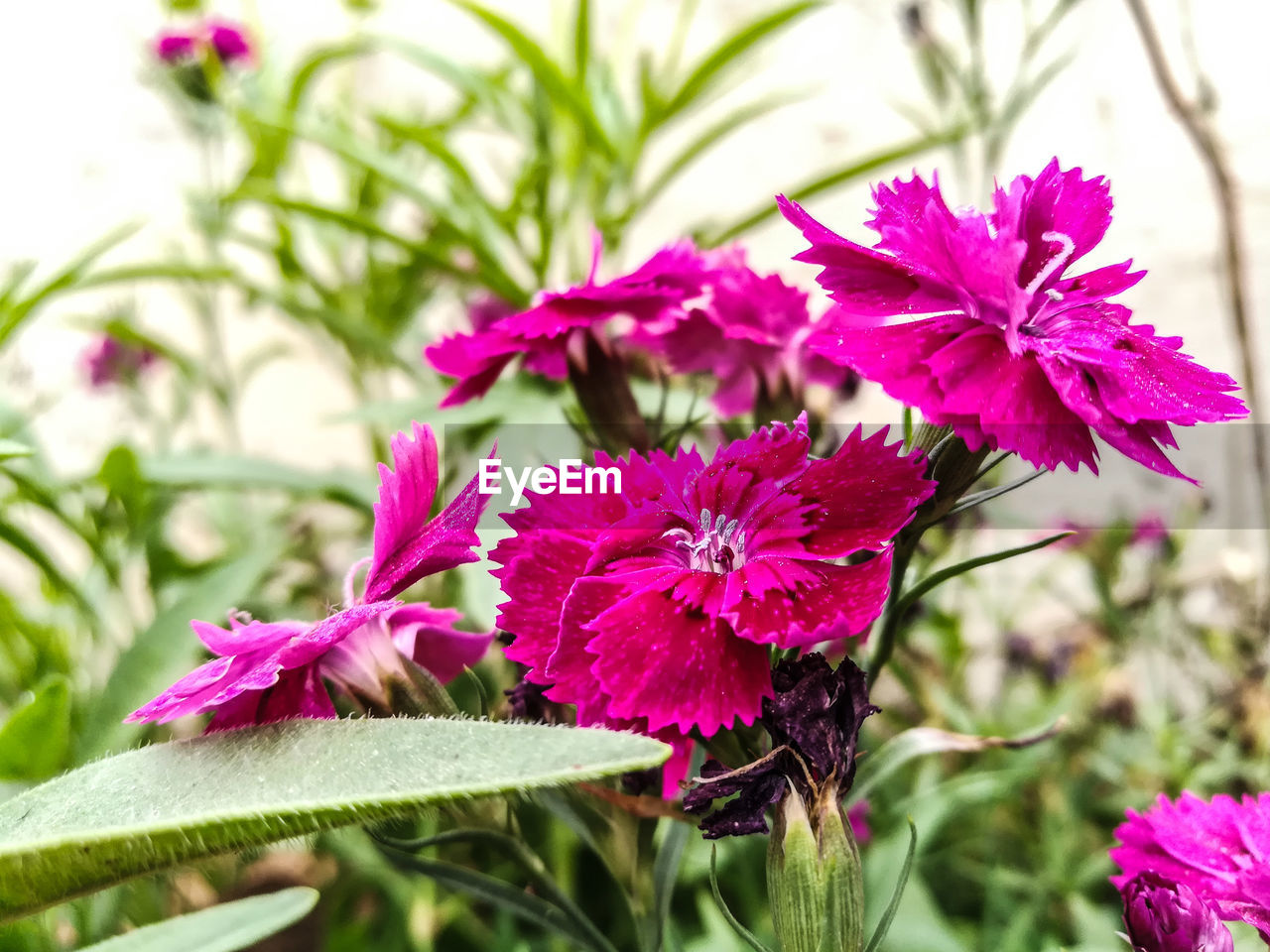 flower, fragility, petal, purple, beauty in nature, nature, freshness, growth, flower head, plant, pink color, no people, focus on foreground, day, close-up, blooming, outdoors, petunia