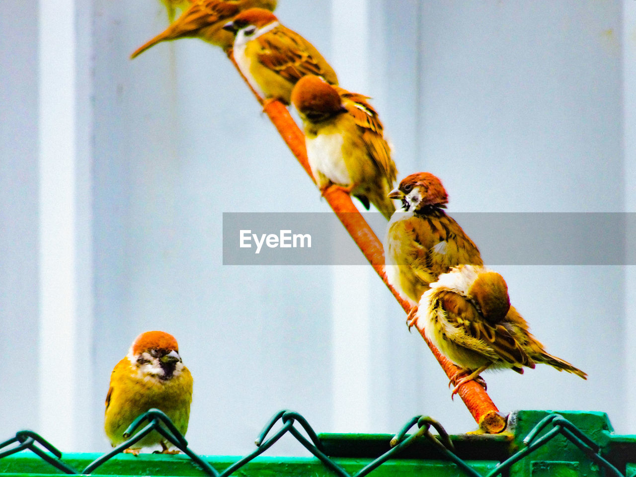 bird, animal themes, vertebrate, animal, group of animals, animal wildlife, perching, animals in the wild, focus on foreground, no people, day, nature, two animals, outdoors, sparrow, beauty in nature, close-up, songbird