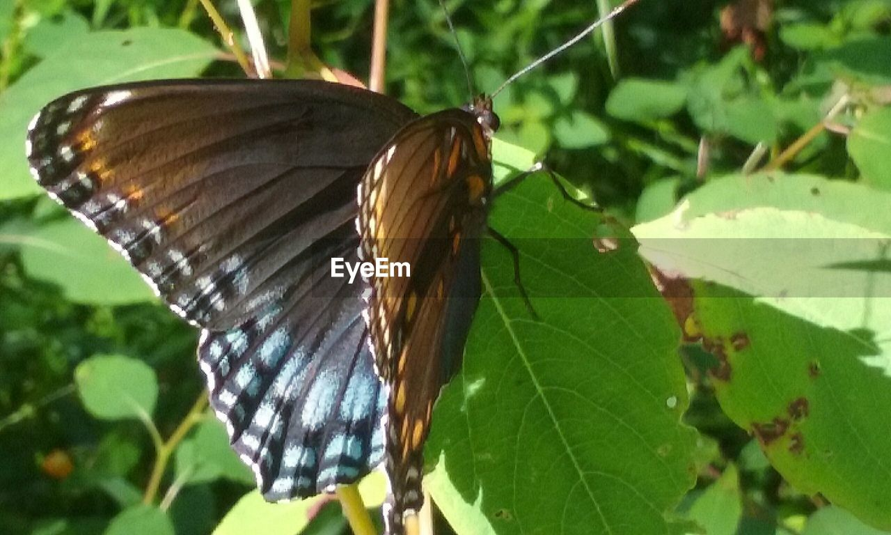 one animal, butterfly - insect, animal themes, animals in the wild, insect, leaf, butterfly, close-up, focus on foreground, animal wildlife, wildlife, day, nature, outdoors, plant, no people, animal markings, perching, beauty in nature, growth, fragility, spread wings, freshness