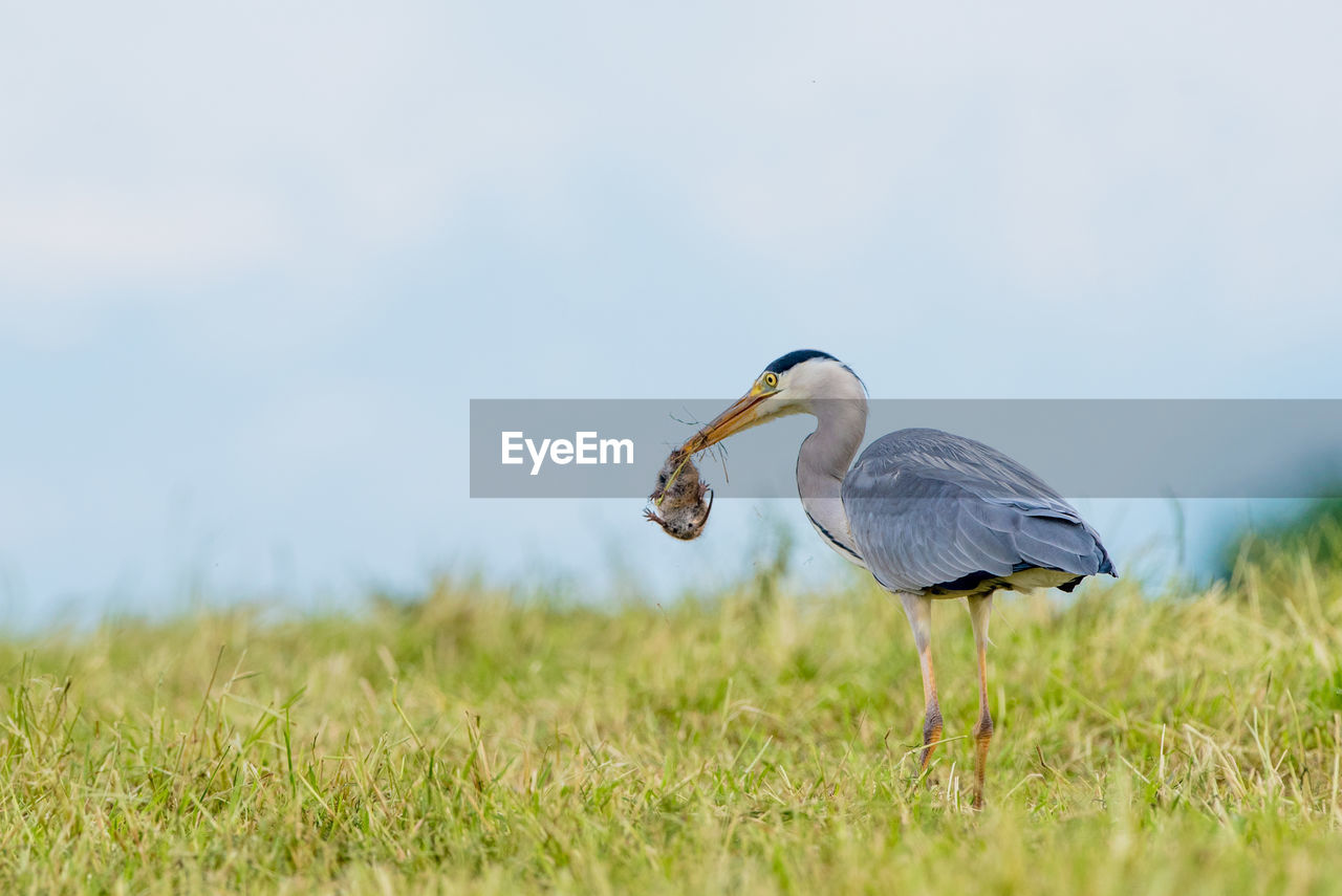 animal themes, animal, animals in the wild, animal wildlife, vertebrate, bird, land, field, grass, plant, selective focus, nature, day, one animal, no people, focus on foreground, side view, outdoors, sky, mouth open