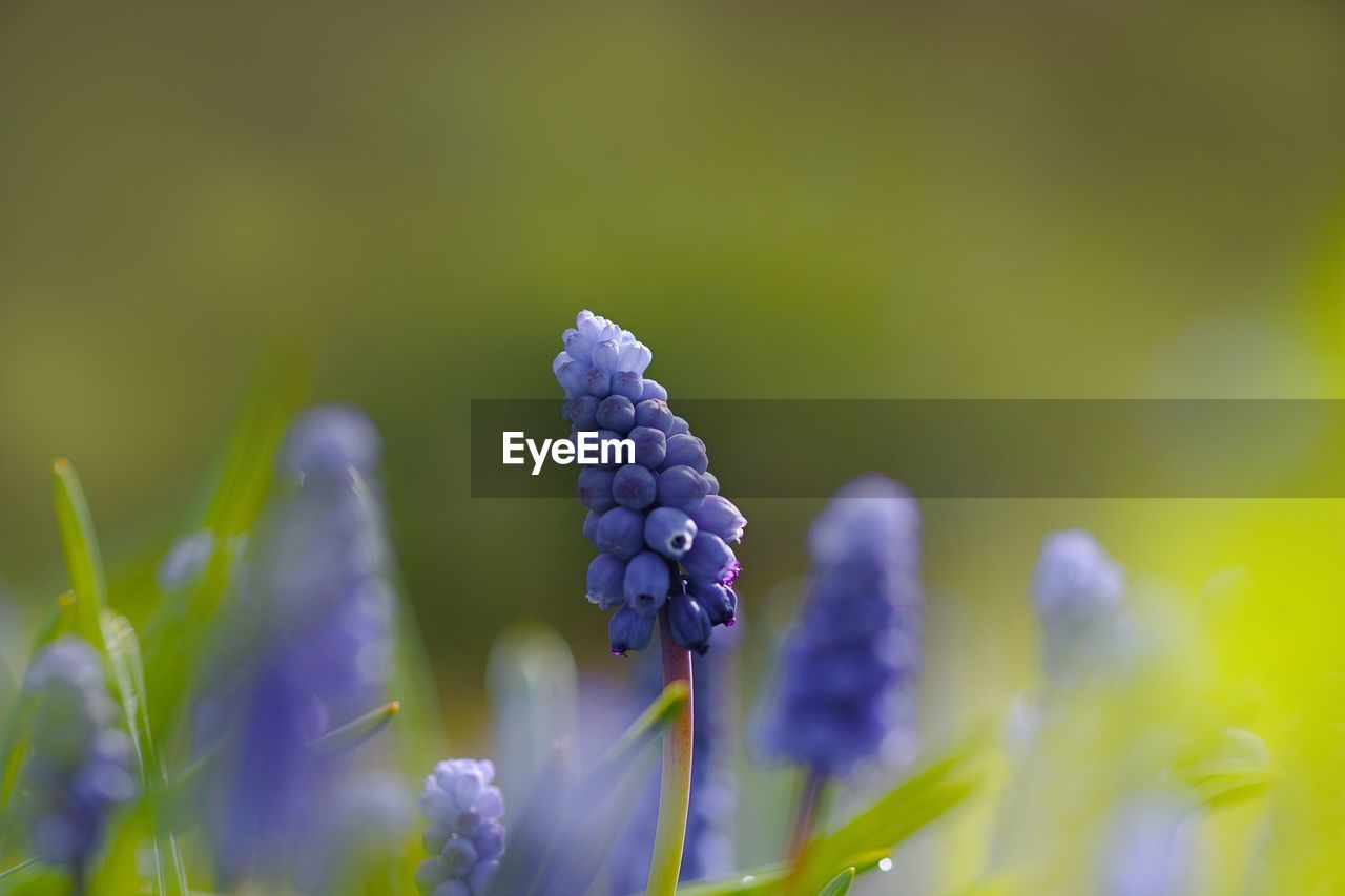 flower, plant, flowering plant, growth, beauty in nature, fragility, vulnerability, freshness, close-up, nature, selective focus, no people, bud, green color, beginnings, day, new life, purple, plant stem, focus on foreground, flower head