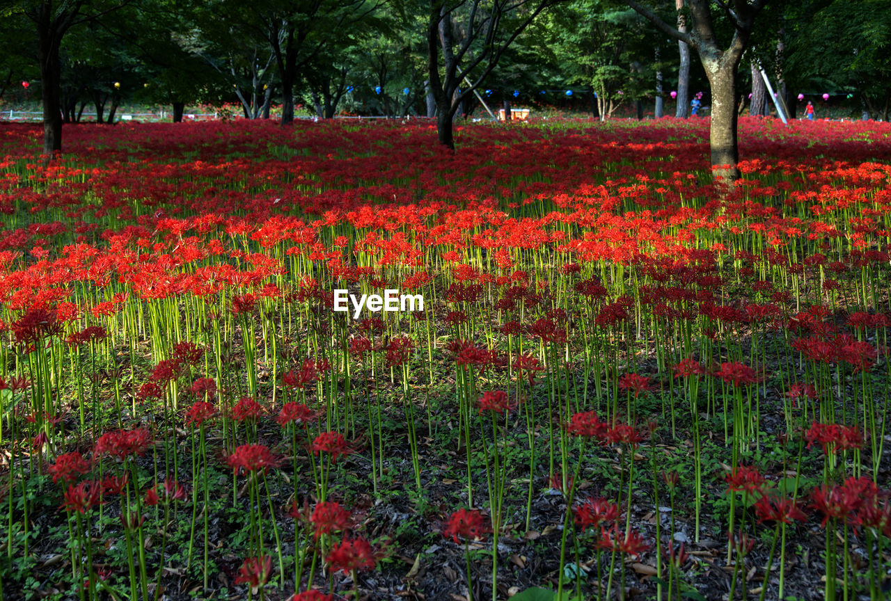 nature, growth, beauty in nature, tree, field, tranquility, red, flower, outdoors, summer, scenics, landscape, tranquil scene, forest, tree trunk, no people, day, poppy, grass, freshness