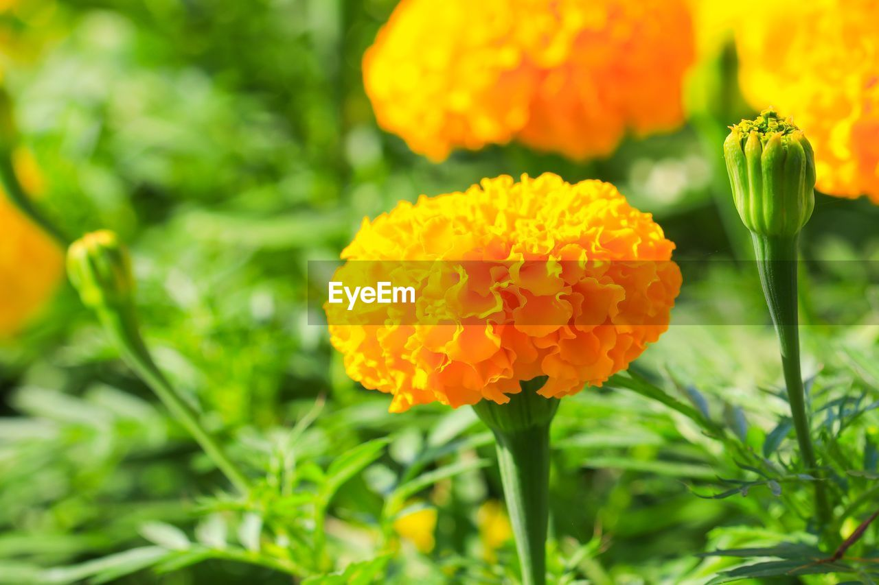 flower, flowering plant, fragility, plant, beauty in nature, vulnerability, freshness, growth, petal, close-up, flower head, inflorescence, marigold, focus on foreground, green color, orange color, nature, day, yellow, no people, outdoors, softness
