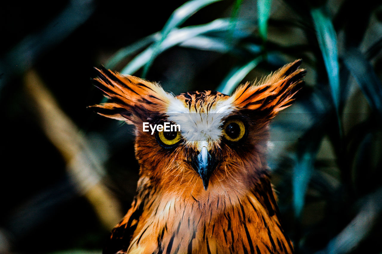 Close-up portrait of buffy fish owl