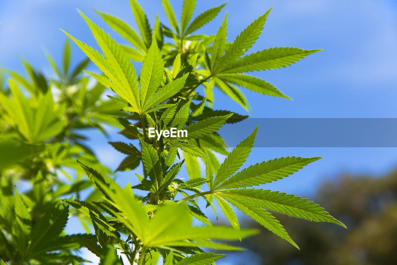 Close-Up Of Marijuana Plant Against Sky