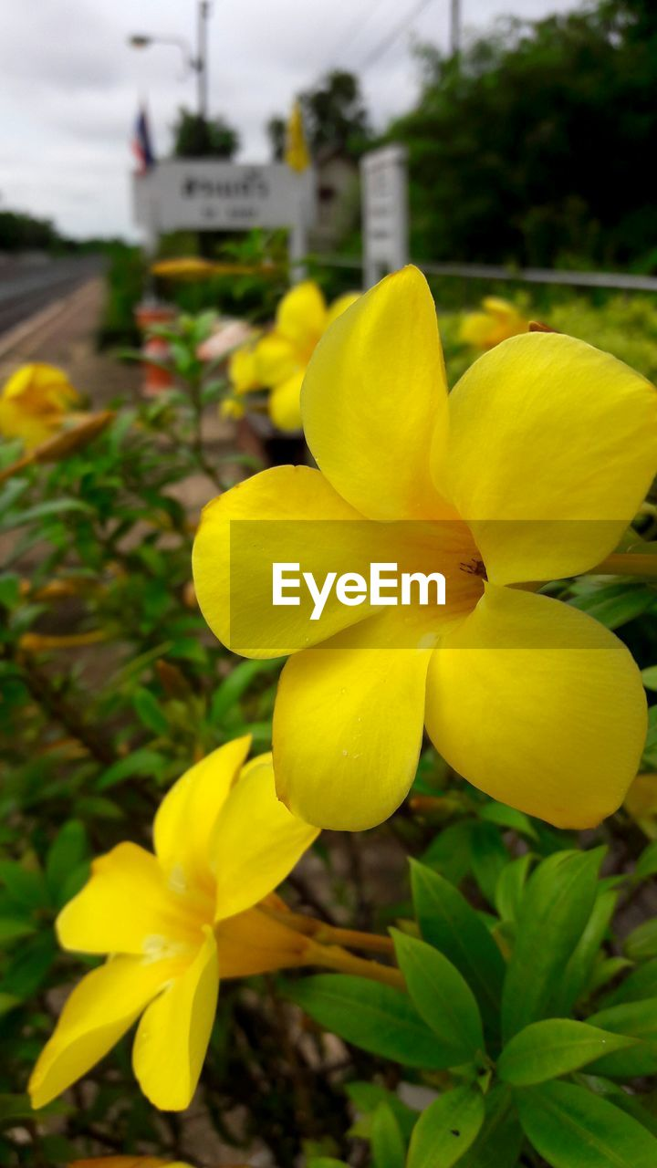 yellow, flower, plant, petal, growth, nature, freshness, outdoors, no people, fragility, beauty in nature, day, close-up, leaf, flower head, blooming