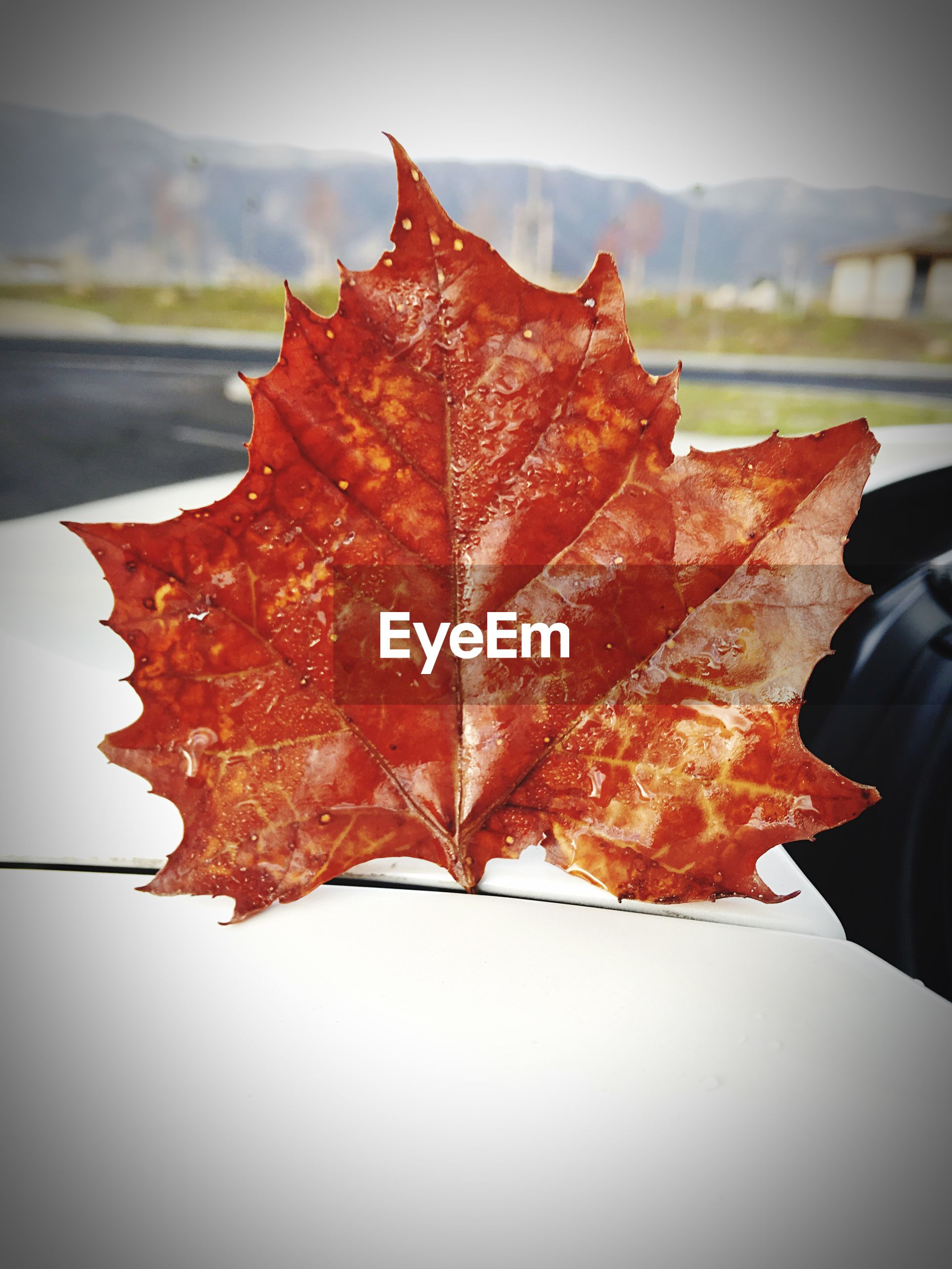 Close-up of maple leaf on car