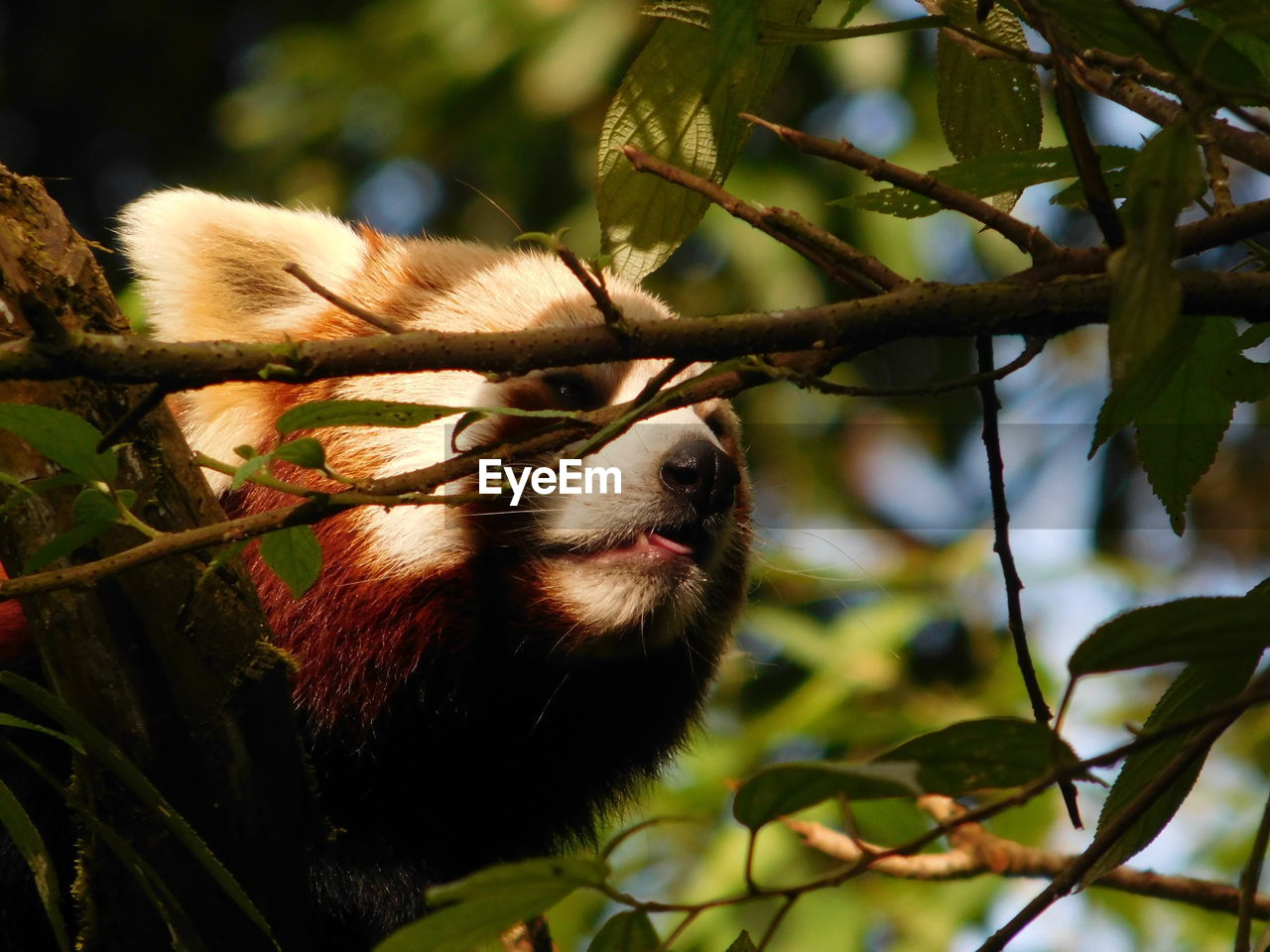 animal themes, one animal, animal, plant, tree, mammal, branch, vertebrate, focus on foreground, animal wildlife, animals in the wild, no people, nature, leaf, plant part, day, close-up, low angle view, outdoors, selective focus, animal head, whisker