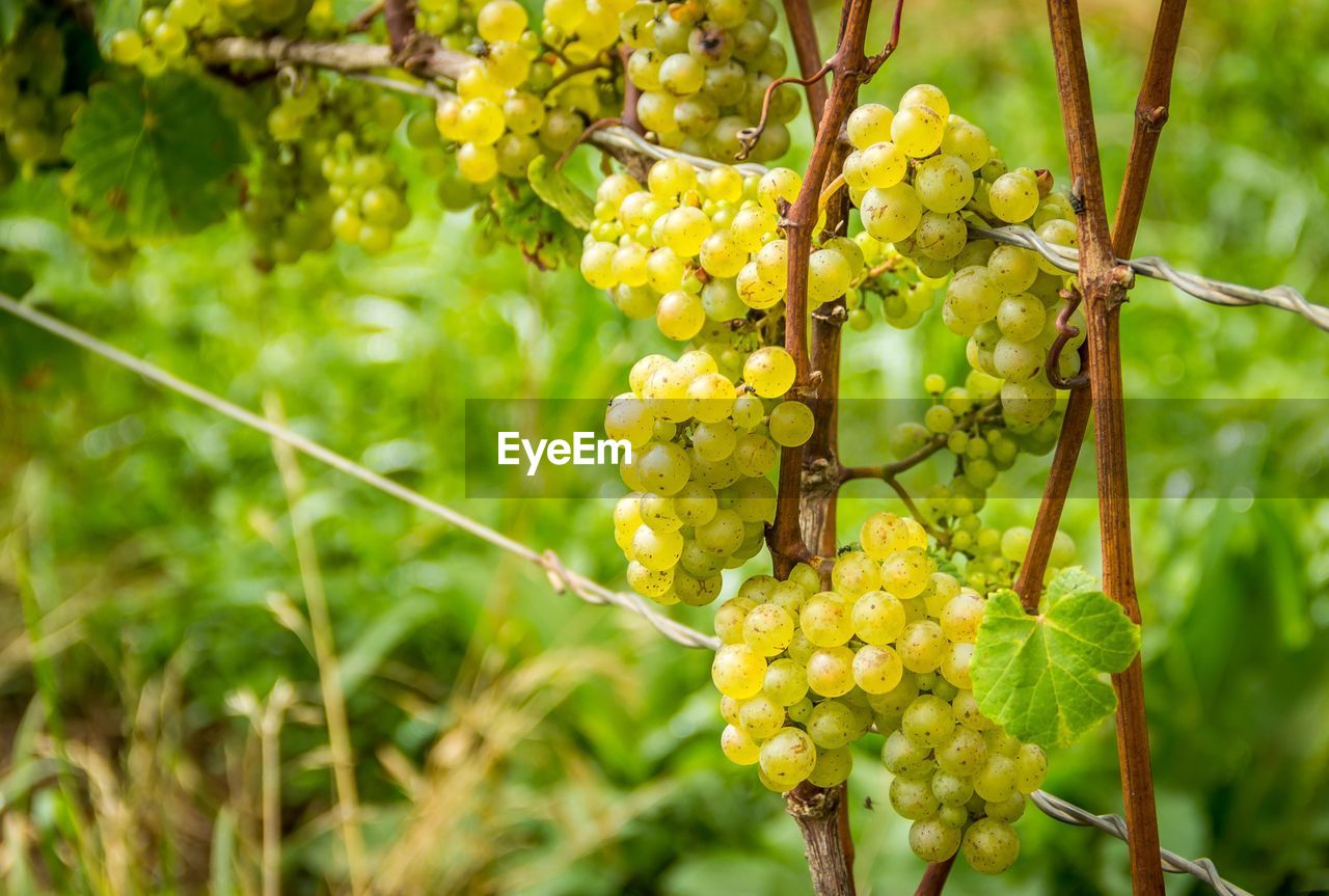 Close-up of grapes growing at vineyard