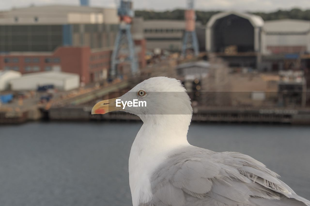 animal themes, bird, vertebrate, animal, focus on foreground, one animal, seagull, animals in the wild, animal wildlife, close-up, white color, architecture, building exterior, day, no people, built structure, perching, sea bird, beak, nature, outdoors, animal head