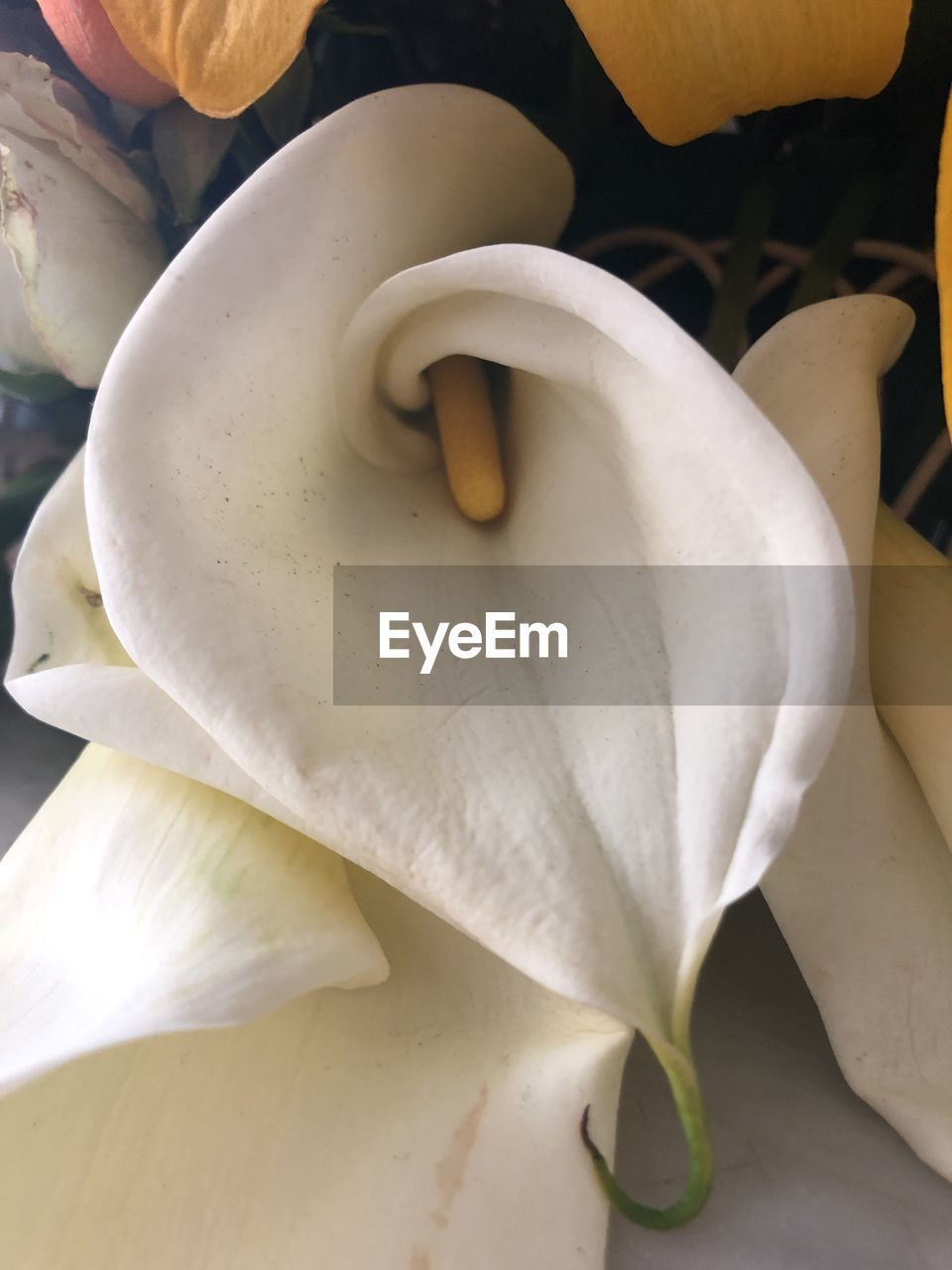 flower, flowering plant, fragility, vulnerability, inflorescence, petal, plant, beauty in nature, flower head, freshness, white color, close-up, growth, calla lily, no people, pollen, nature, botany, stamen, springtime, softness