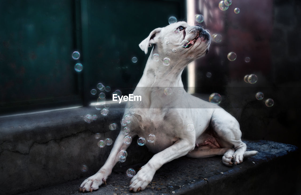 Close-Up Of Boxer Resting On Steps Amidst Bubbles In Mid-Air