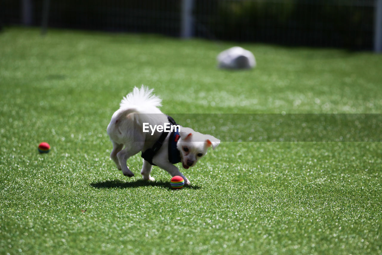grass, sport, animal, animal themes, mammal, one animal, canine, ball, dog, domestic animals, domestic, plant, selective focus, pets, green color, motion, playing, day, running, nature, no people, small