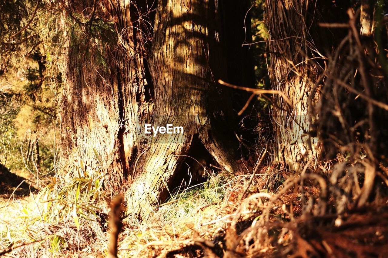 forest, tree trunk, nature, growth, tree, no people, adventure, day, outdoors, close-up