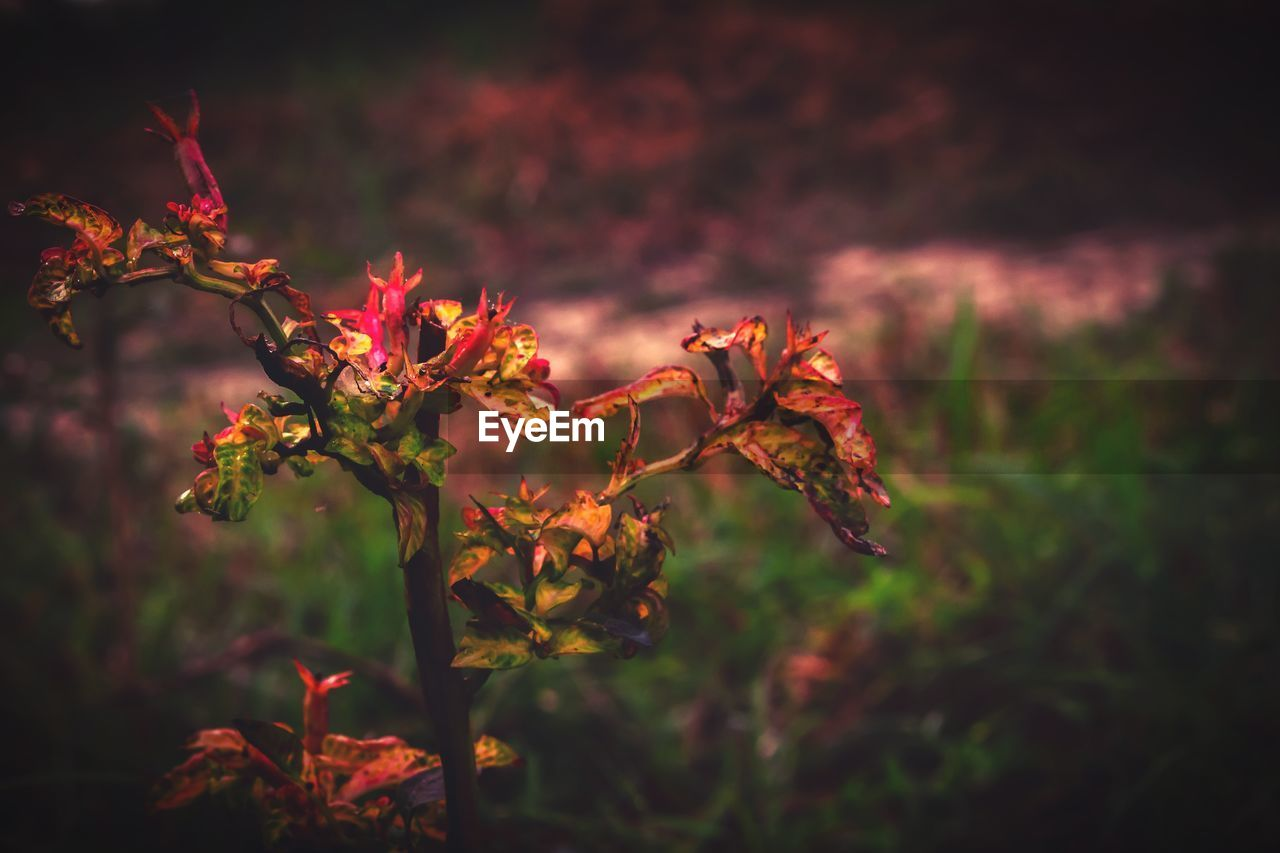 plant, beauty in nature, flowering plant, flower, growth, nature, close-up, no people, focus on foreground, fragility, vulnerability, freshness, petal, selective focus, outdoors, sunset, tranquility, orange color, day, field, flower head