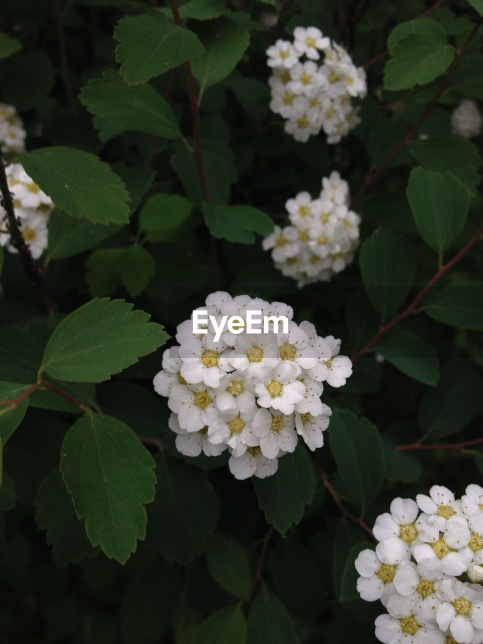flower, leaf, growth, white color, plant, freshness, green color, petal, nature, beauty in nature, blooming, fragility, lantana camara, flower head, day, no people, hydrangea, outdoors, close-up