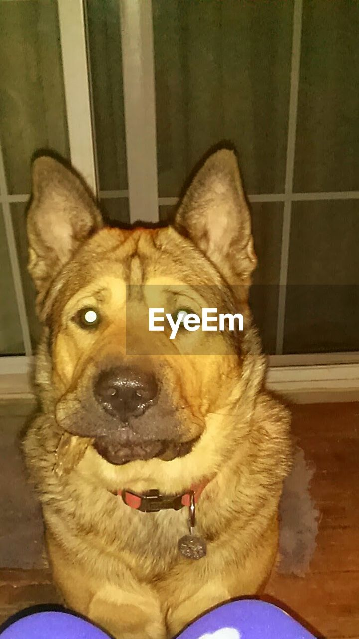 pets, dog, one animal, domestic animals, looking at camera, animal themes, portrait, mammal, indoors, sitting, home interior, german shepherd, close-up, no people, day
