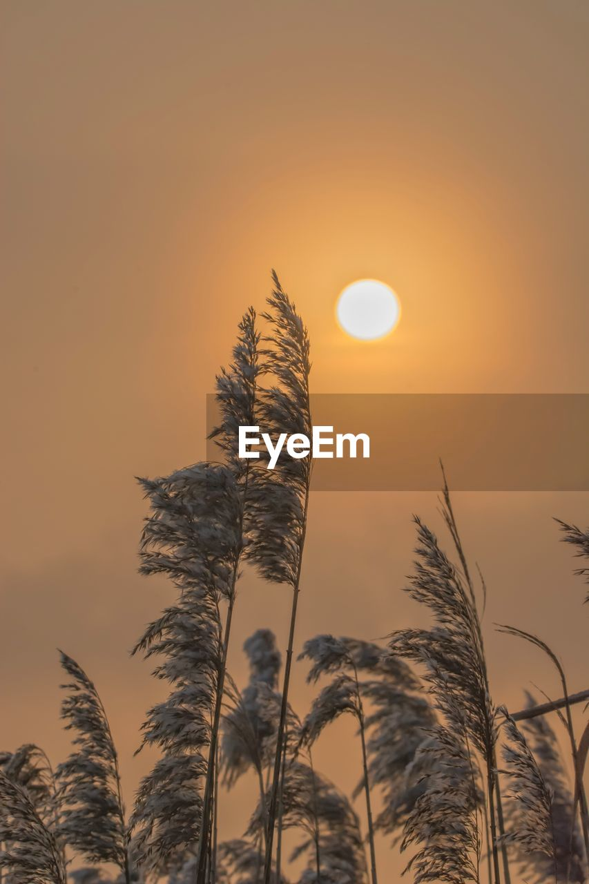 sky, sunset, plant, beauty in nature, growth, sun, tranquility, nature, scenics - nature, no people, tranquil scene, orange color, focus on foreground, silhouette, sunlight, outdoors, low angle view, close-up, stalk, plant stem, timothy grass