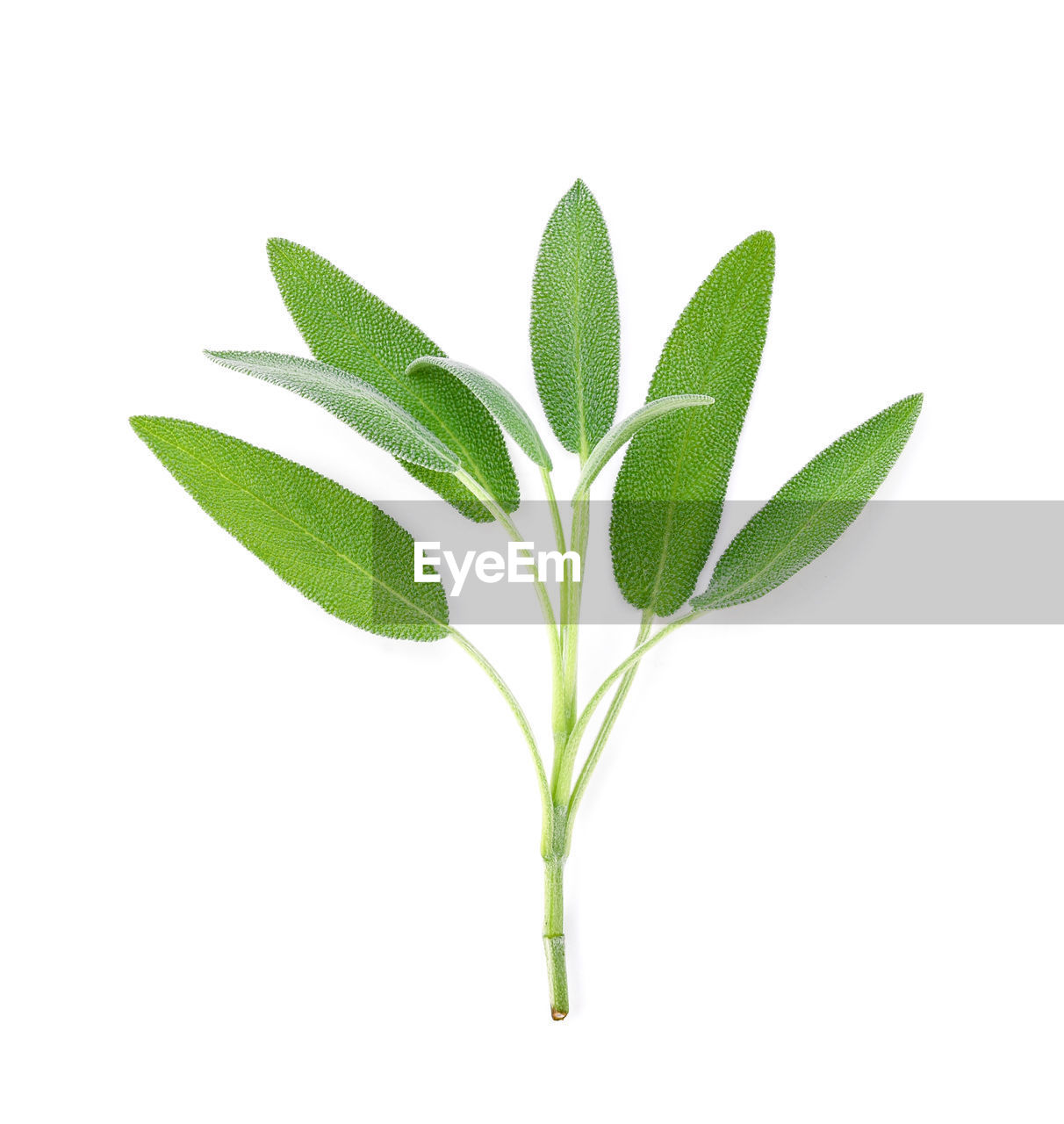plant part, white background, leaf, green color, studio shot, nature, plant, cut out, close-up, freshness, indoors, no people, medicine, growth, beauty in nature, beginnings, vulnerability, herb, food, food and drink, leaves