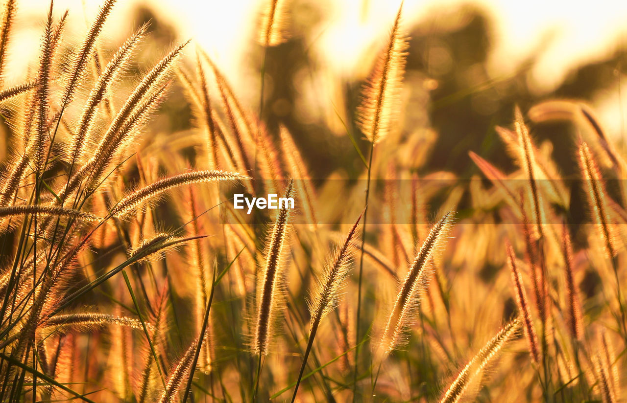 growth, plant, crop, selective focus, close-up, agriculture, cereal plant, field, nature, land, beauty in nature, farm, no people, focus on foreground, wheat, tranquility, rural scene, day, sunlight, outdoors, stalk, timothy grass