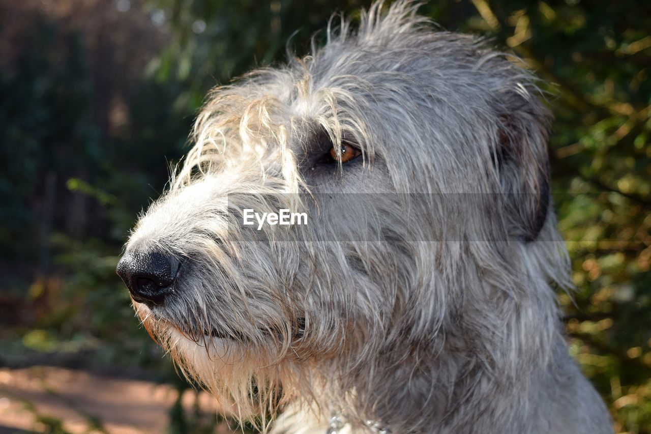 one animal, animal themes, animal, mammal, domestic, pets, domestic animals, vertebrate, focus on foreground, canine, dog, animal hair, close-up, animal body part, hair, looking away, animal head, looking, day, no people, snout, animal nose, animal eye