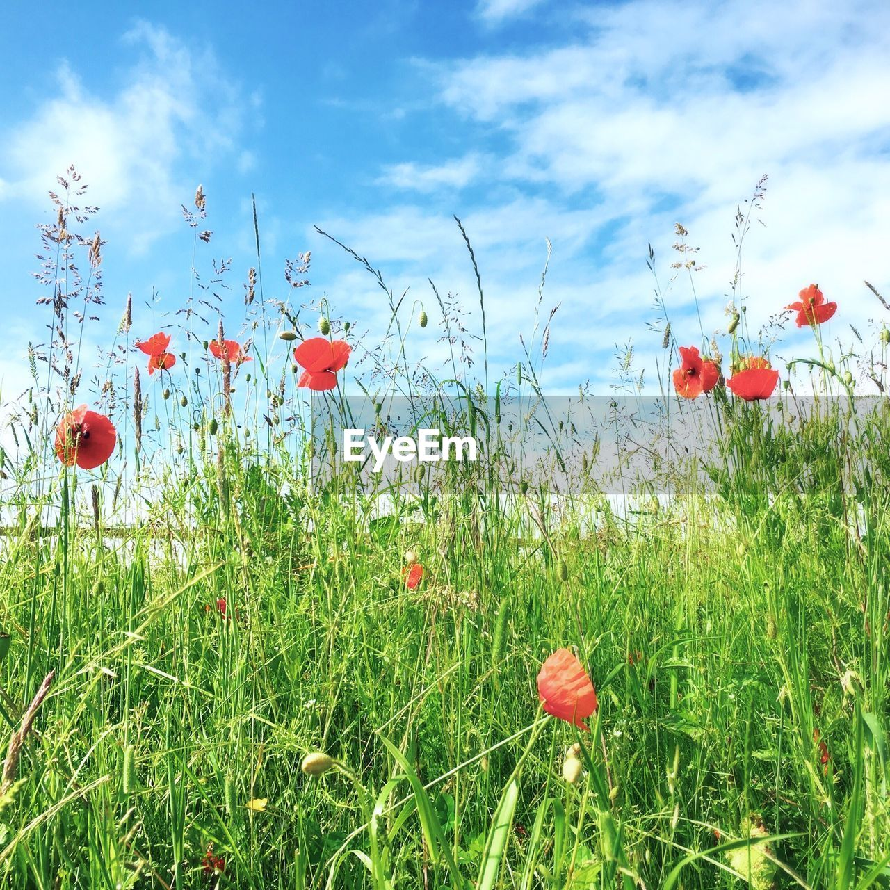 Poppies growing on field against cloudy sky