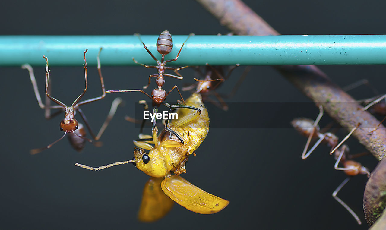 Close-Up Of Ants Fighting Insect On Metal