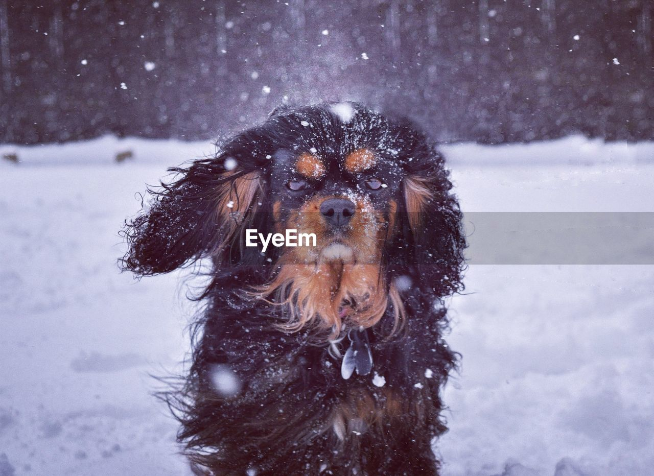 Close-Up Of Dog During Snow Fall