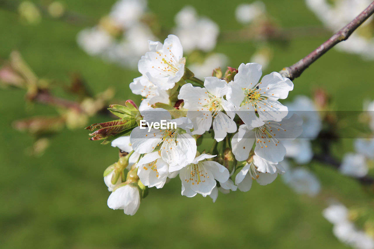 flower, flowering plant, plant, fragility, vulnerability, freshness, beauty in nature, growth, white color, petal, close-up, focus on foreground, flower head, inflorescence, tree, day, blossom, nature, pollen, springtime, no people, cherry blossom, outdoors, cherry tree, spring