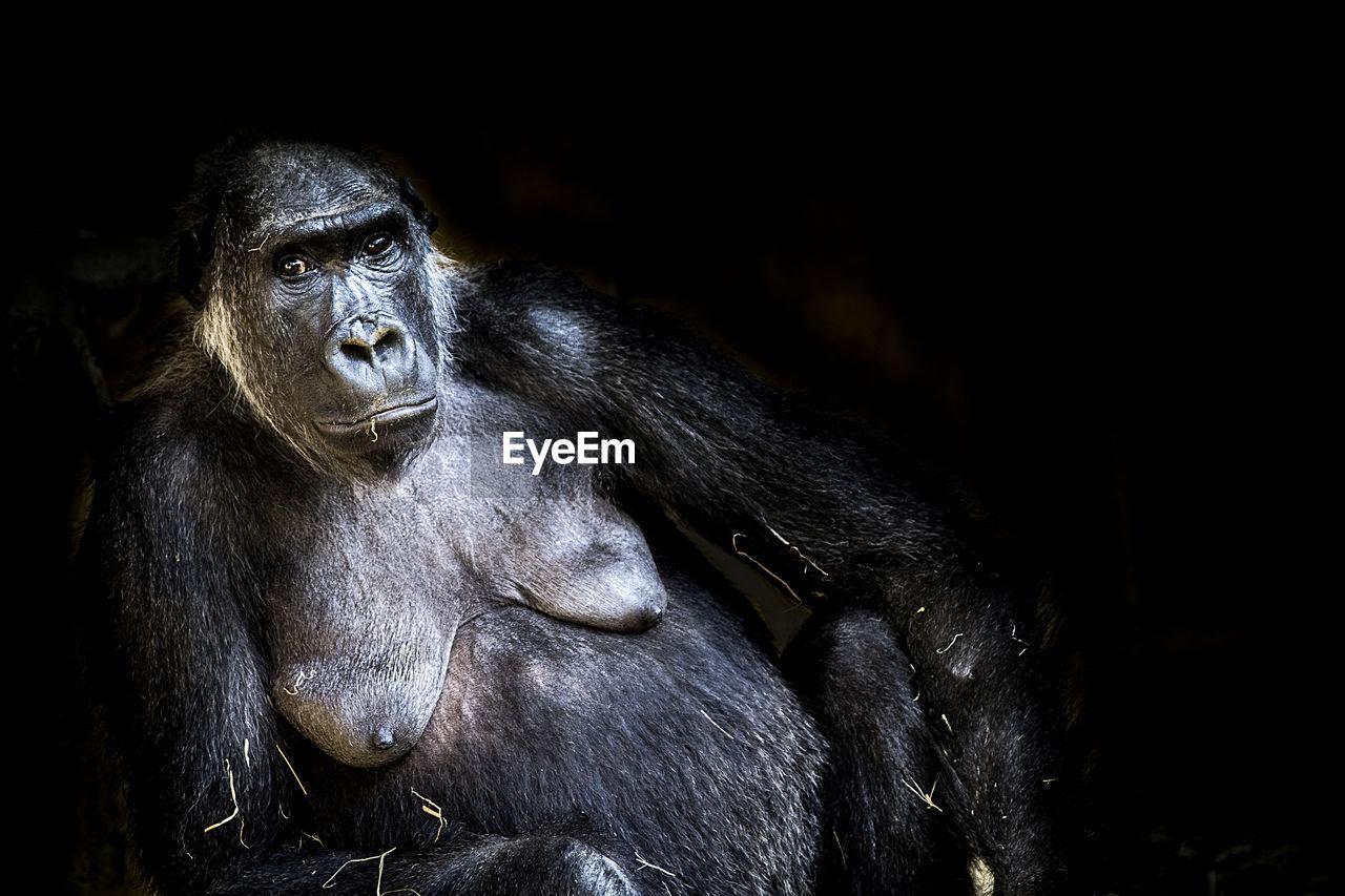 Portrait of female gorilla at night