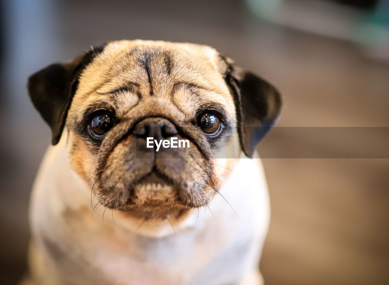 one animal, canine, dog, animal themes, animal, pets, domestic, domestic animals, mammal, portrait, pug, lap dog, looking at camera, close-up, small, animal body part, focus on foreground, vertebrate, animal head, front view, no people, animal eye