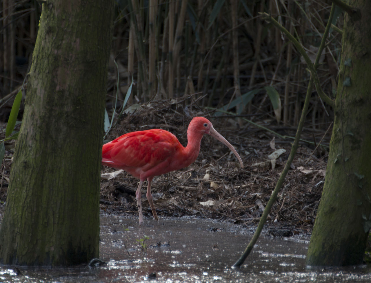 red, one animal, bird, animals in the wild, animal themes, nature, no people, animal wildlife, ibis, outdoors, flamingo, day, beauty in nature, close-up