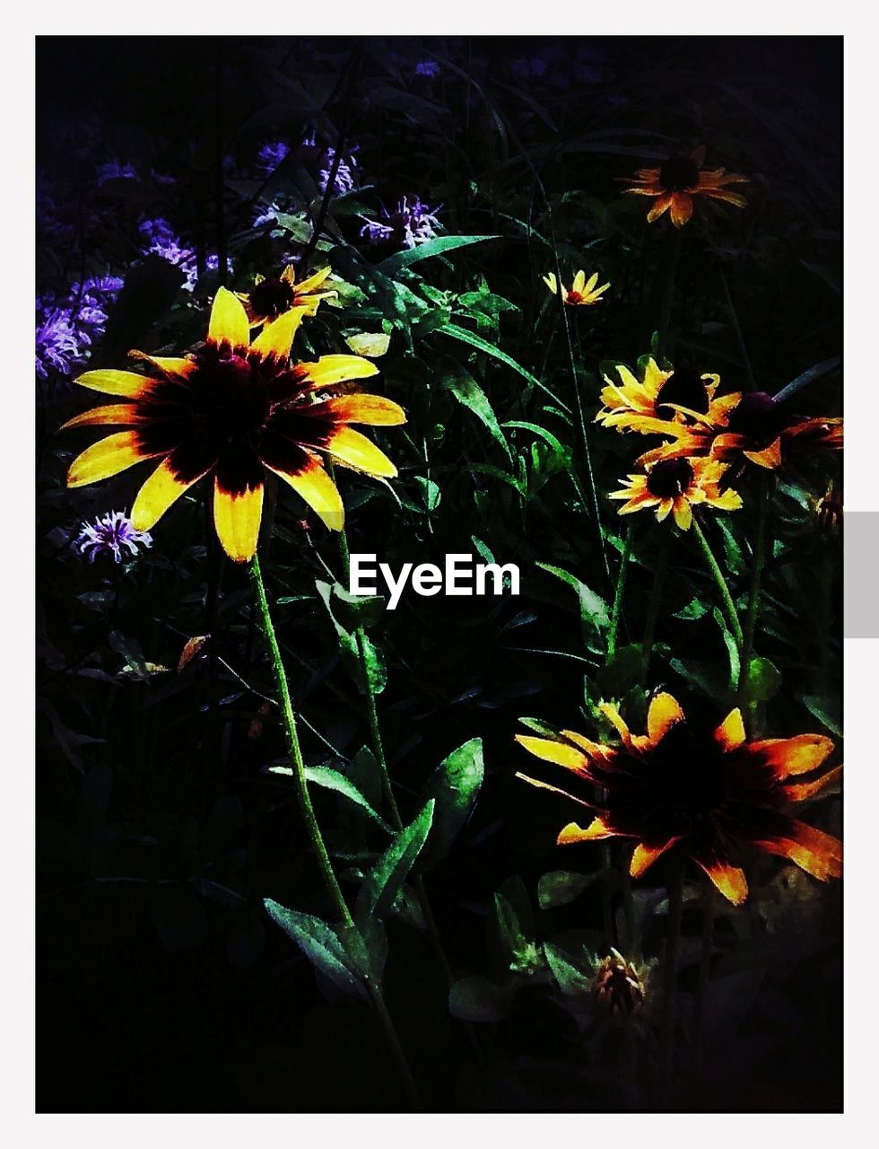 flower, petal, fragility, growth, freshness, flower head, beauty in nature, nature, plant, blooming, black-eyed susan, no people, pollen, outdoors, day, yellow, cosmos flower, close-up