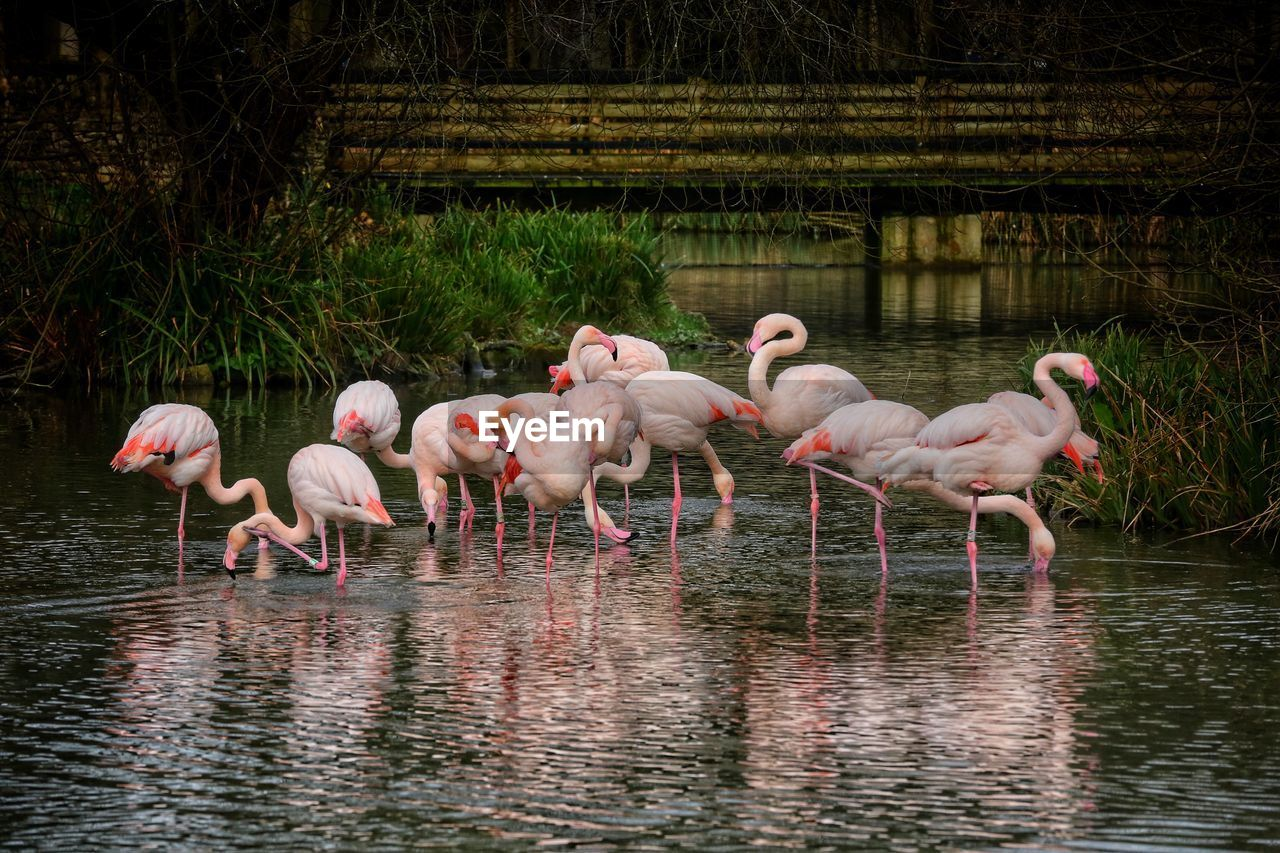 animal themes, animal, water, animals in the wild, bird, animal wildlife, group of animals, lake, vertebrate, flamingo, waterfront, reflection, large group of animals, nature, pink color, no people, day, beauty in nature, zoology, outdoors, drinking, freshwater bird, flock of birds