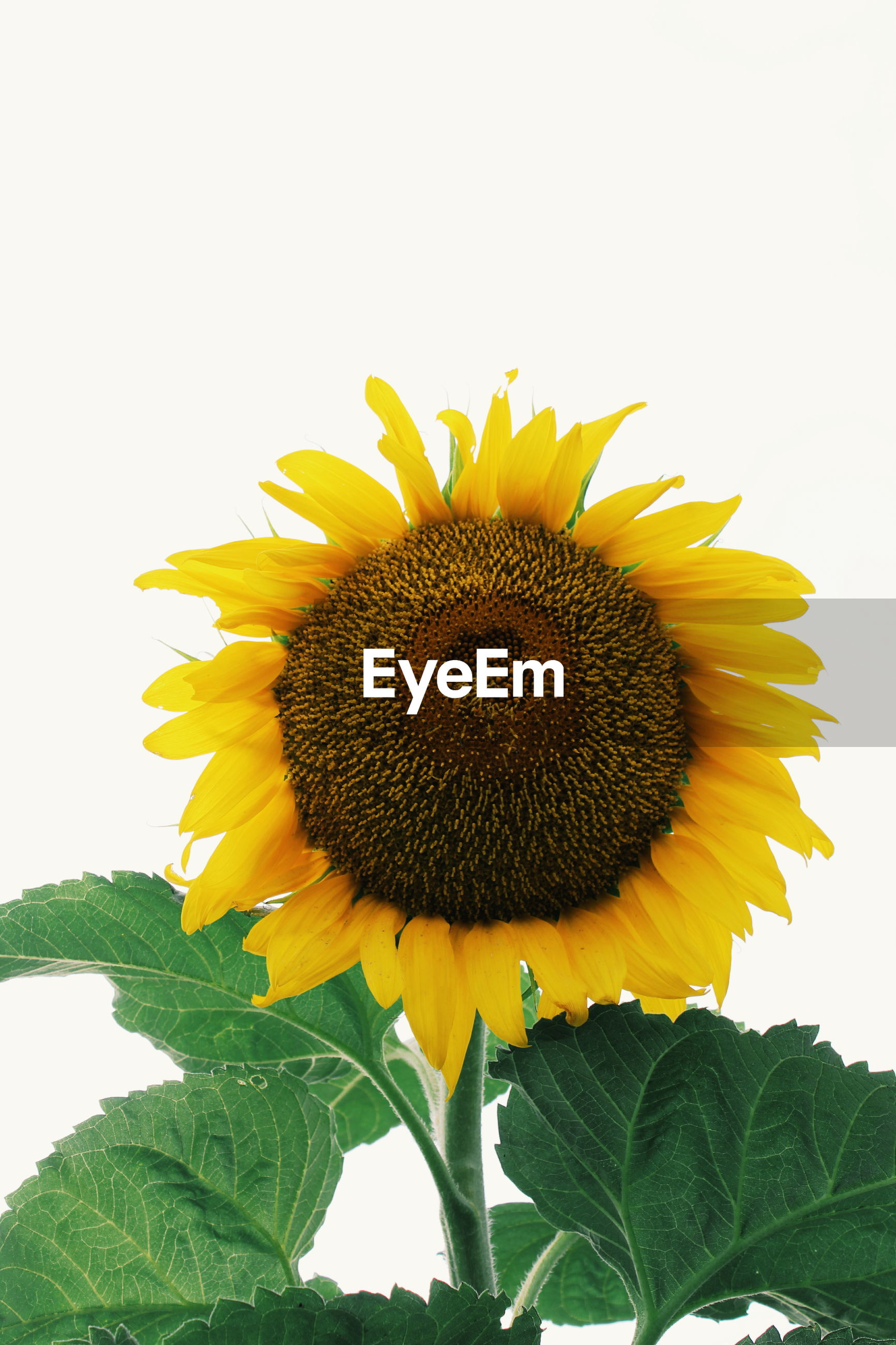 CLOSE-UP OF SUNFLOWER AGAINST YELLOW FLOWERING PLANT