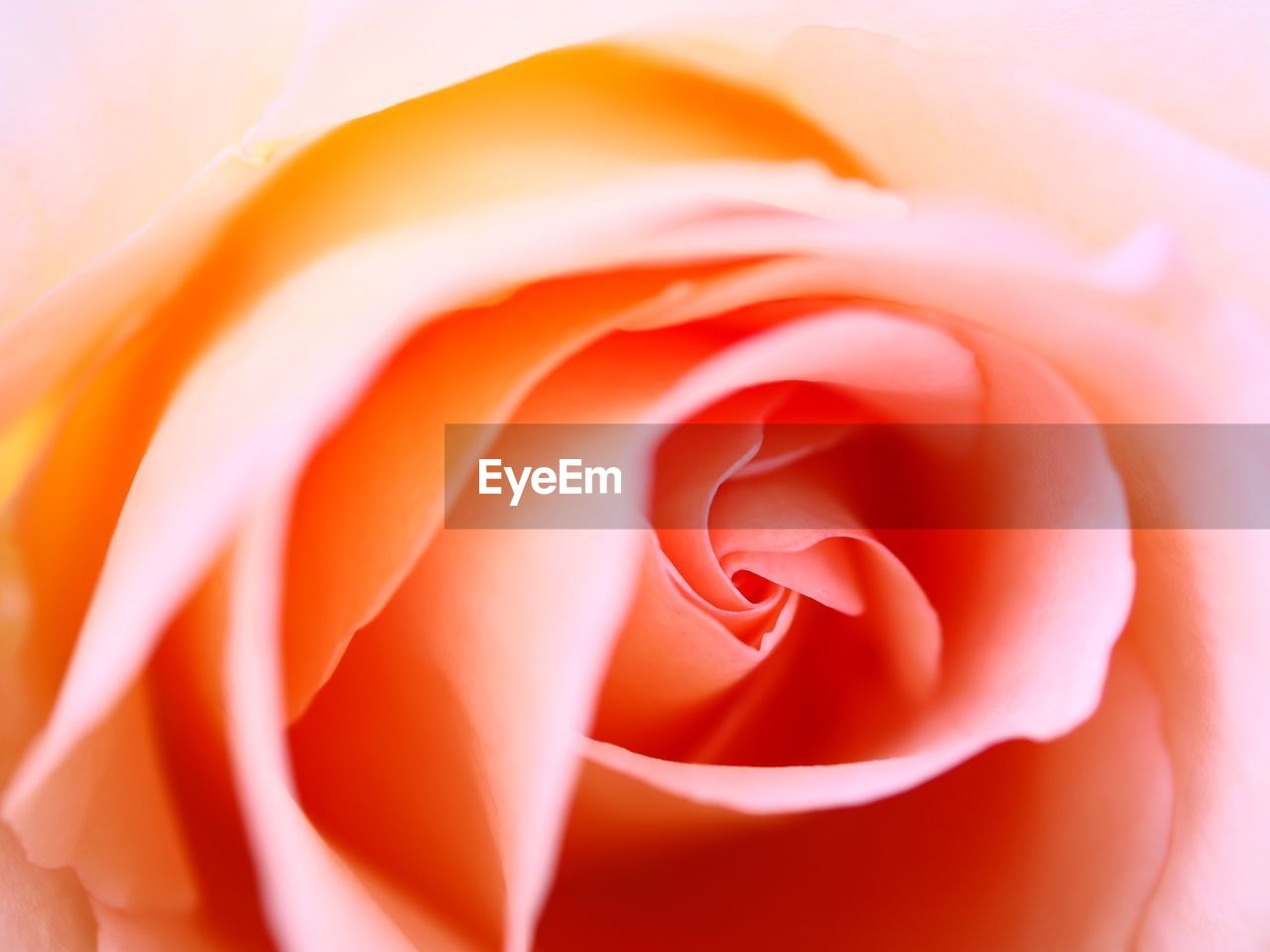 flower, beauty in nature, flowering plant, petal, vulnerability, fragility, plant, flower head, close-up, inflorescence, freshness, rose, full frame, rose - flower, no people, growth, backgrounds, nature, orange color, softness