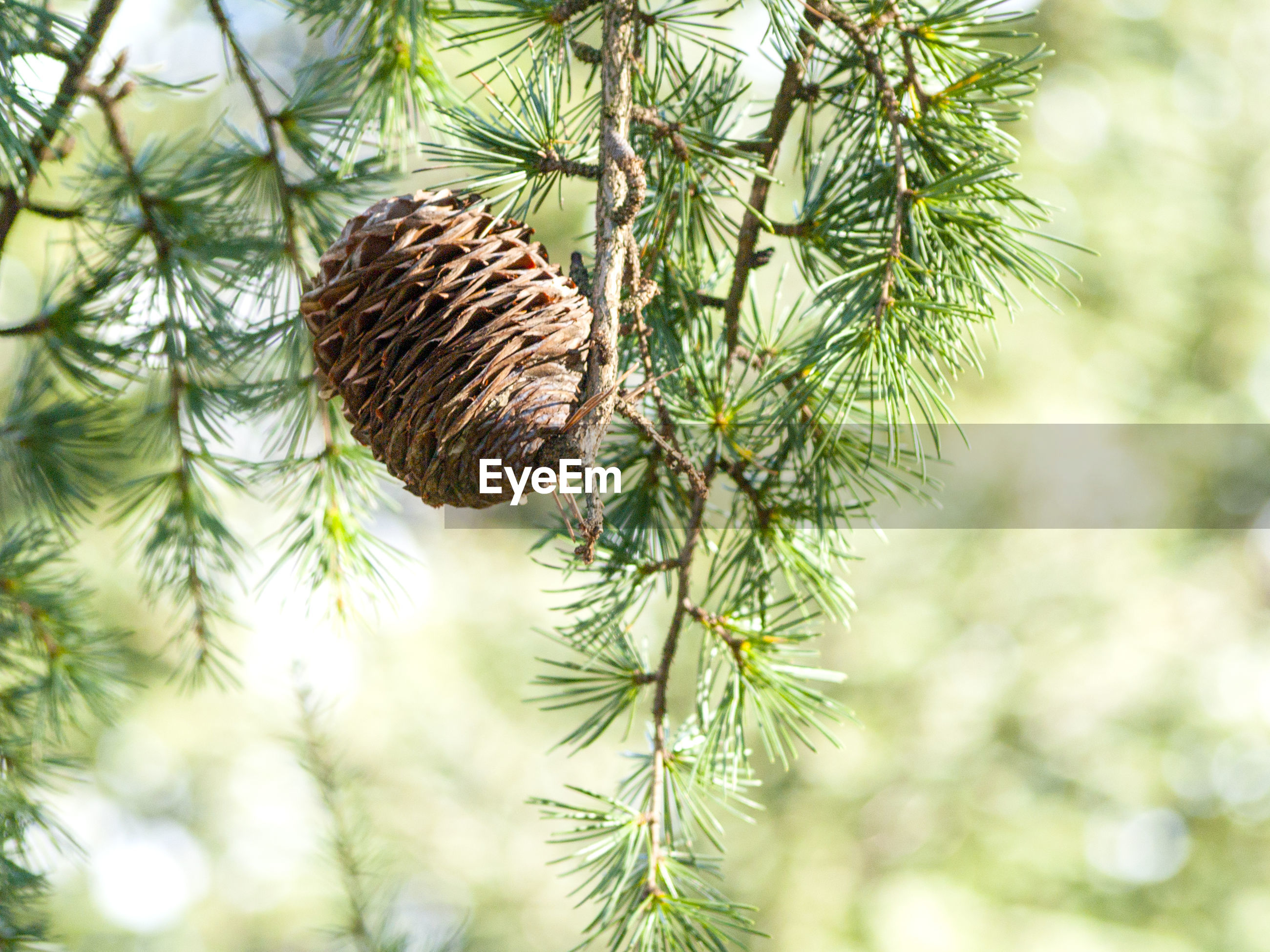Close-up of pine cone hanging on tree