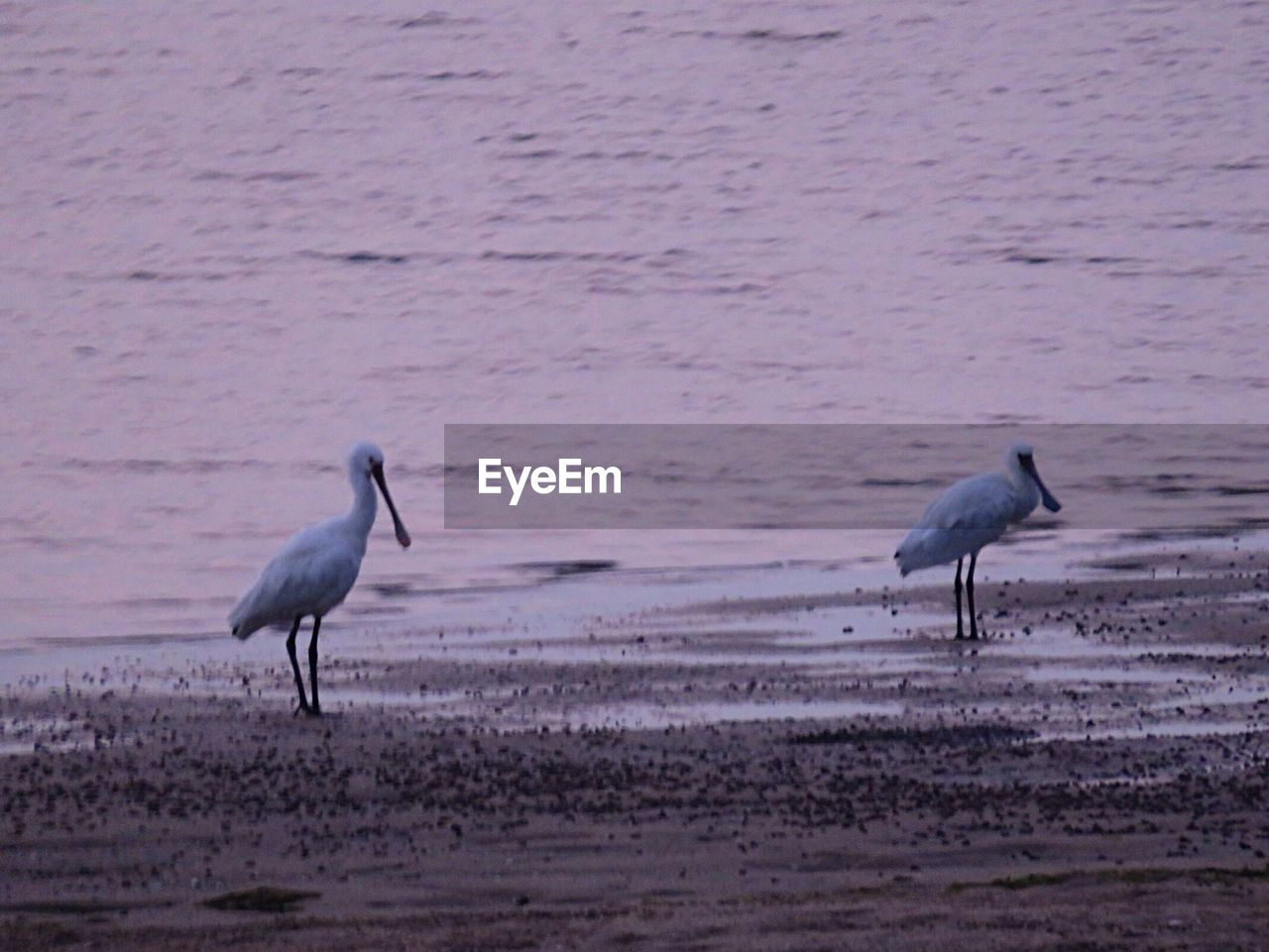 bird, animals in the wild, nature, animal themes, water, no people, beach, animal wildlife, outdoors, beauty in nature, day, ibis